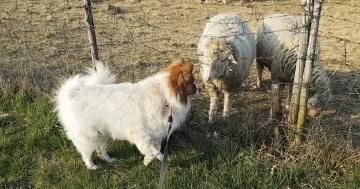 Hund sieht und riecht zum ersten Mal ein Schaf
