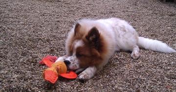 Junghund spielt mit Ente