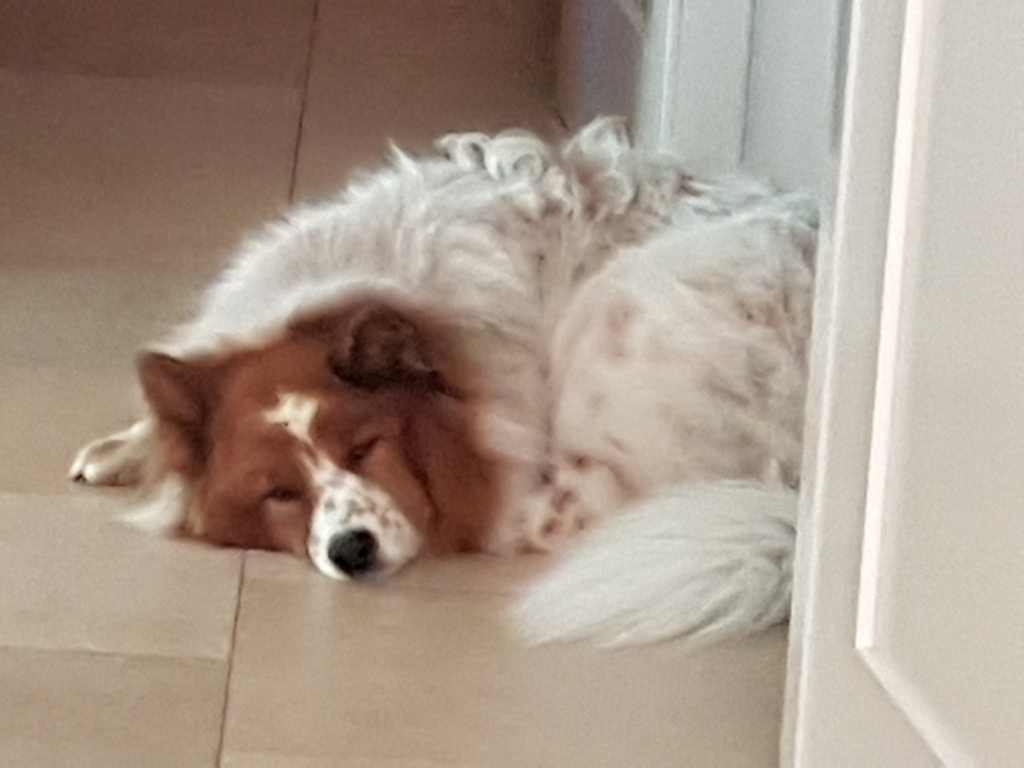 Elo Hund Toffee erinnert an ein Füchschen