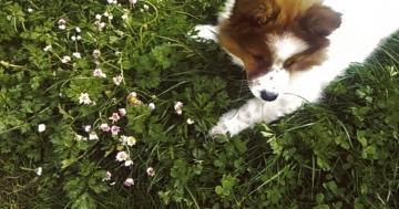 Elo Hund mag Gänseblümchen