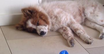 Elo Hund schläft vor Spielzeug ein
