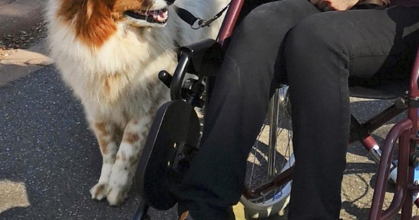 Elo Toffee als Besuchshund neben einer Rollstuhlfahrerin